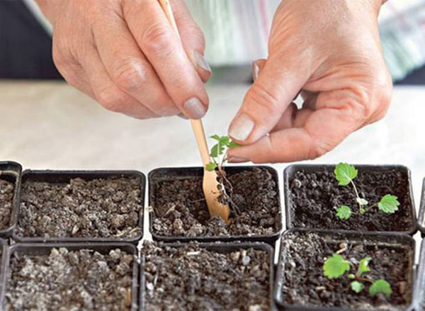 Коли можна висаджувати розсаду суниці. Суниця: посадка, догляд і вирощування суниці з насіння в домашніх умовах