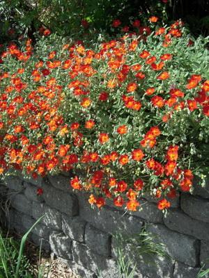 Самі невибагливі чагарники. Найкрасивіші квітучі чагарники для саду