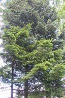 Ялина-опис, види, де росте, розмноження, фото. Особливості будови і розмноження ялини ялина звичайна застосування