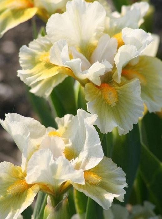 Карликові іриси. Ірис бородатий карликовий квіти ірис карликовий