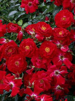 Троянди-кращі сорти. Сорти троянд-класифікація, опис з фото троянди по сортам