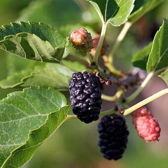 Шовковиця (тутове дерево), (morus). Опис, види і вирощування шовковиці