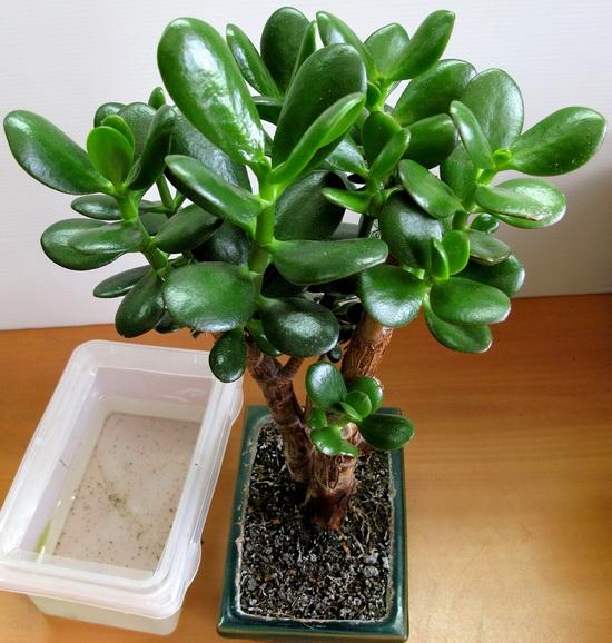 Догляд за кімнатними рослинами взимку грошове дерево. Толстянка: догляд в домашніх умовах за грошовим деревом