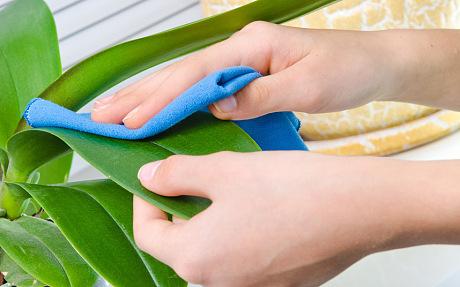 Як правильно очищати листя кімнатних рослин від пилу? як мити листя кімнатних квітів від пилу, щоб блищали? як правильно мити листя у кімнатних рослин.