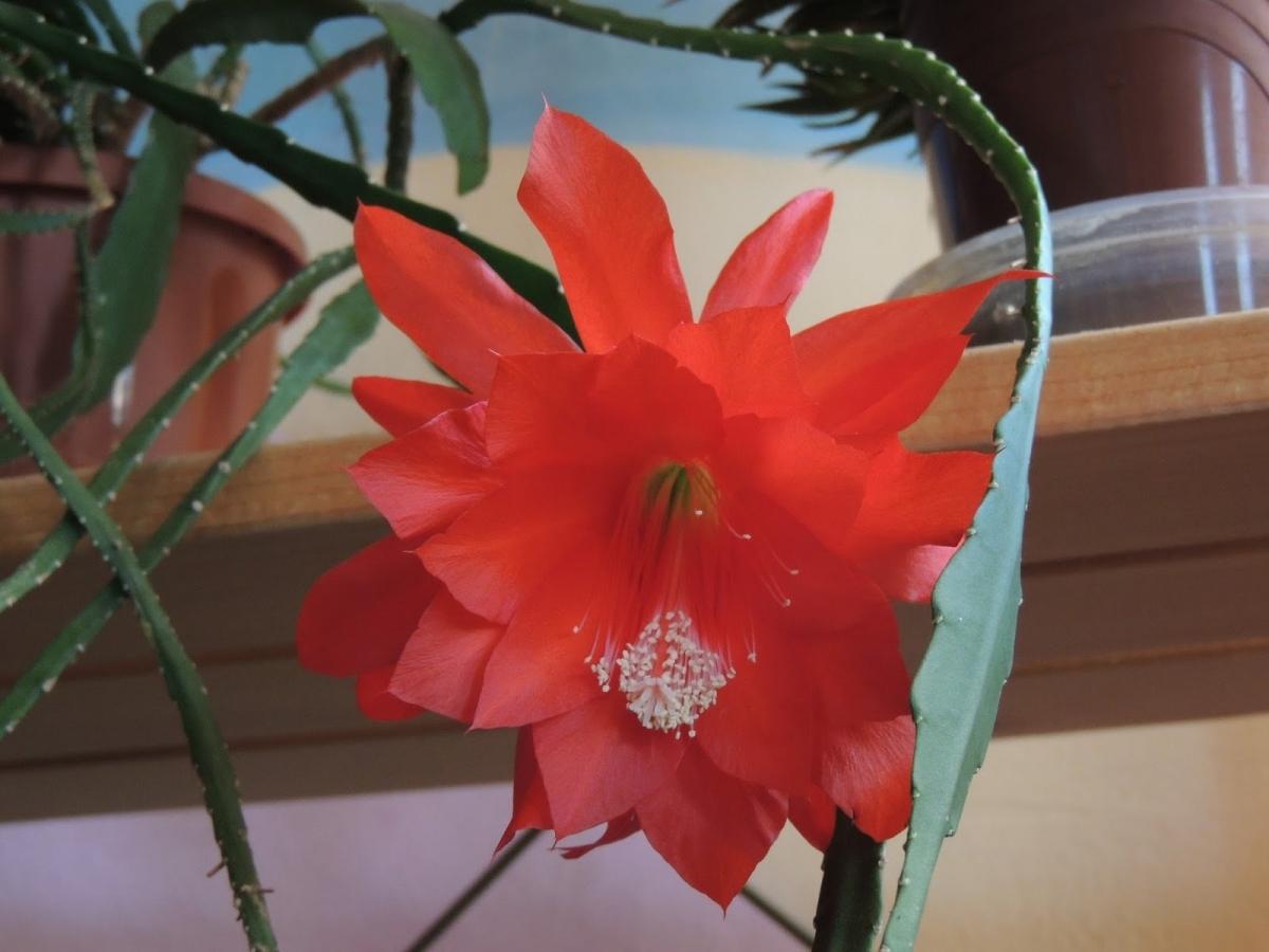 Догляд за квітами тещин язик. Домашні квіти