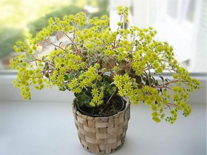 Дерево любові (аіхрізон) у вашому домі. Аихризон догляд в домашніх умовах пересадка обрізка і розмноження як розмножити дерево любові