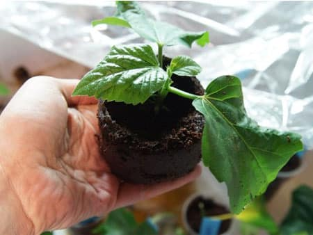 Як обрізати домашні троянди восени. Саншет агроуспіх-захист рослин від сонячних опіків і посухи