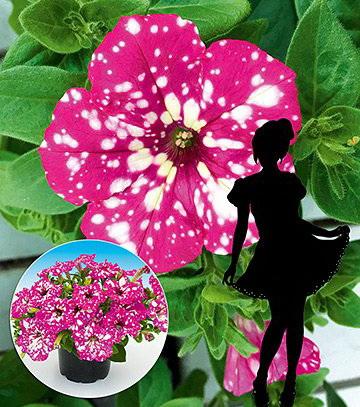 Сурфінія: відмінності від петунії, фото і секрети вирощування. Сурфінія: відмінності від петунії, фото і секрети вирощування петунії