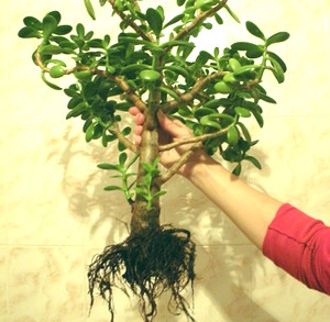 Хвороби квітки грошове дерево. Грошове дерево: догляд і можливі хвороби невибагливої культури