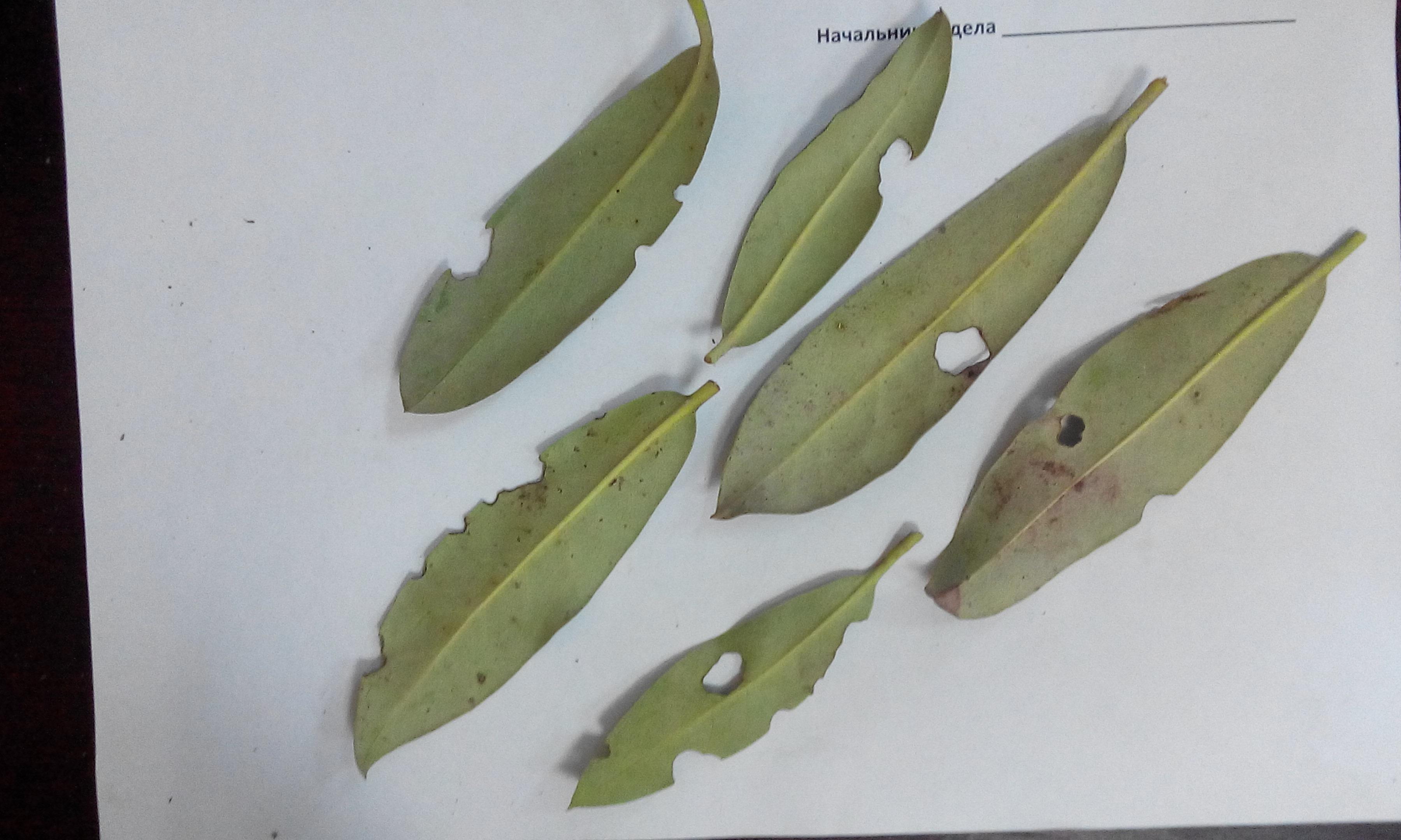 Чому на листках рододендрона зявляються коричневі плями. Основні хвороби рододендрона і методи їх лікування
