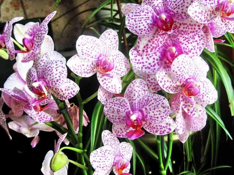 Значення орхідеї в подарунок. До чого дарують орхідею