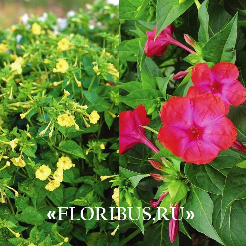 Мірабіліс від розсади до цвітіння. Мірабіліс з насіння в домашніх умовах