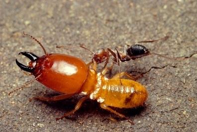 Мурахи вбивці-найнебезпечніші в світі. Мурахи чим небезпечні найстрашніші мурахи в світі