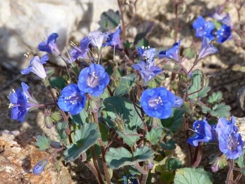 Фацелія характеристика рослини. Фацелія медонос і її корисні властивості