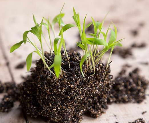 Щетинник зелений: характеристика, опис, методи боротьби з буряном. Щетинник-декоративна трава посадка у відкритий грунт і догляд за щетинником сетарією