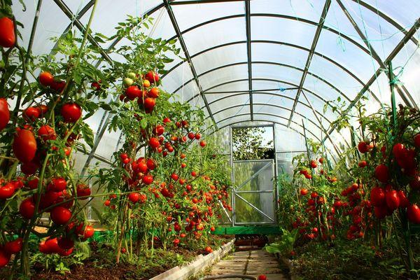 Мульчування спанбондом томатів. Як і чим проводити мульчування помідорів