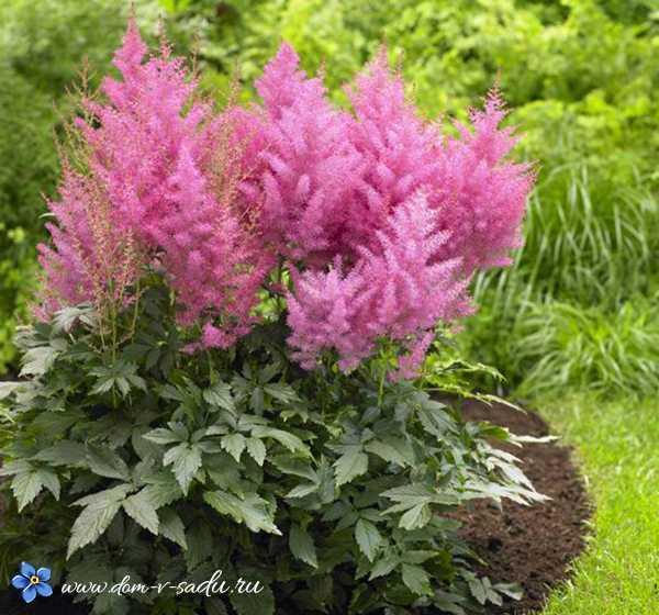 Астильба погано цвіте що робити. Астильба-вирощування та догляд