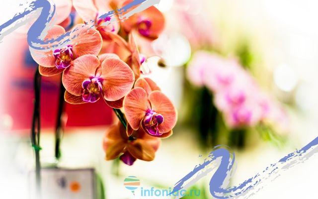 Фаленопсис прикмети і забобони. Чи варто тримати вдома орхідею-прикмети і забобони про квітку