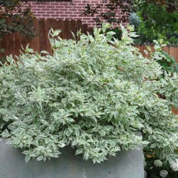 Рослина схожа на дерен білий. Дерен ряболистий в ландшафтному дизайні
