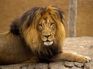 ♌ знак зодіаку лев. Характеристика чоловіка-лева: сумісність з жінками різних знаків зодіаку