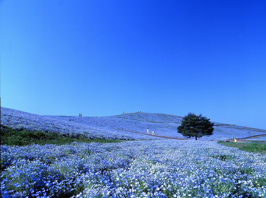 Національний приморський парк хітачі. Чудовий парк хітачі в японії інформація для відвідування