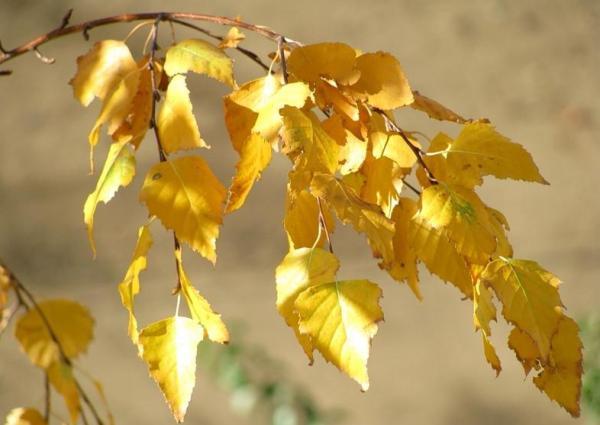 Як листя змінюють свій колір восени. Яка речовина забарвлює листя в зелений, жовтий, помаранчевий, червоний колір: рослинні пігменти