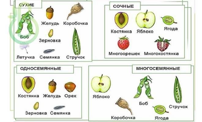 Костянковідние плоди. Плід-ягодовидна кістянка суха кістянка