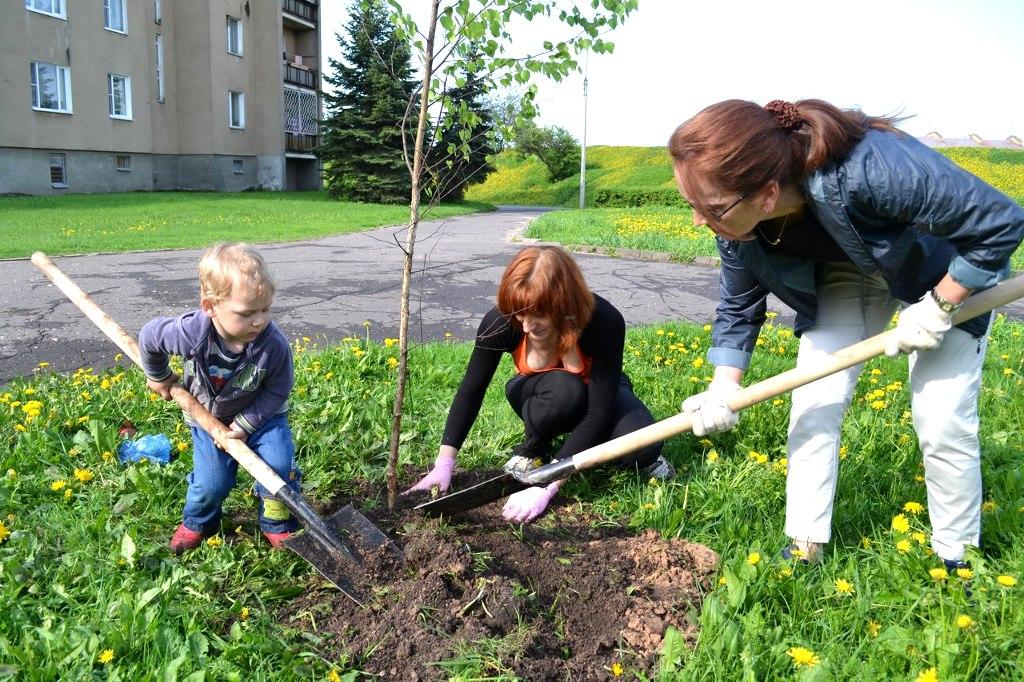 Терміни посадки берези восени. Як посадити березу – терміни і особливості вирощування