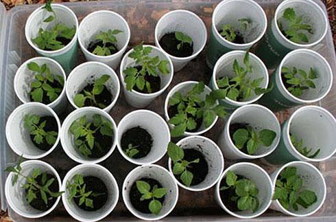 Перевірка насіння квітів на схожість. Перевірка насіння на схожість в домашніх умовах