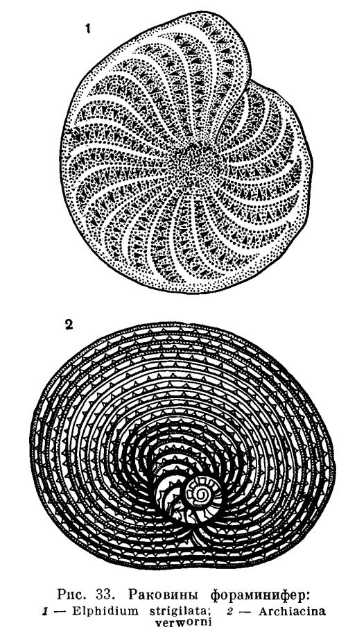 Тип форамініфери (foraminifera). Форамініфери: будова та екологія загін форамініфери харчування