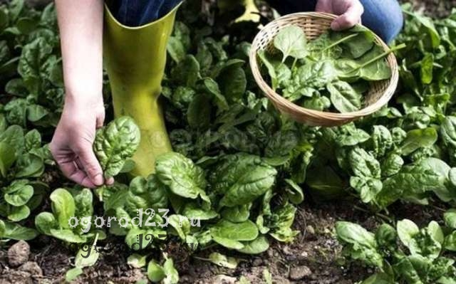 Шпинат посадка догляд. Як виростити шпинат в городі і на присадибній ділянці