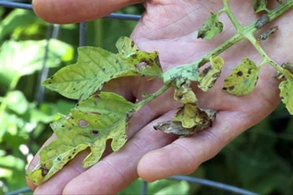 Гортензия шершавая макрофилла hydrangea aspera macrophylla. Гортензия саржента гортензия шершавая саржента