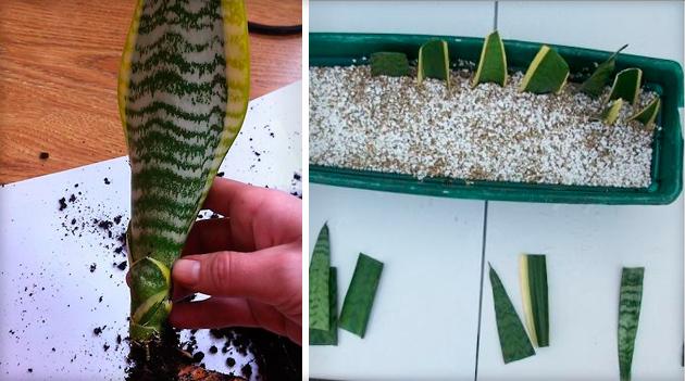 Посадити тещин язик з листа. Квітка тещин язик: фото, прикмети, забобони