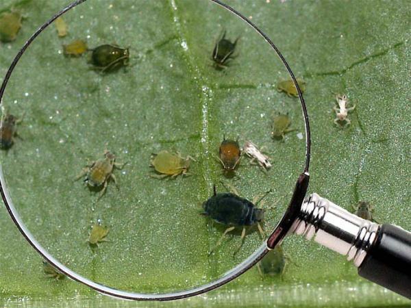 Ранні сорти геленіума. Осінній геленіум: опис, вирощування, розмноження і фото