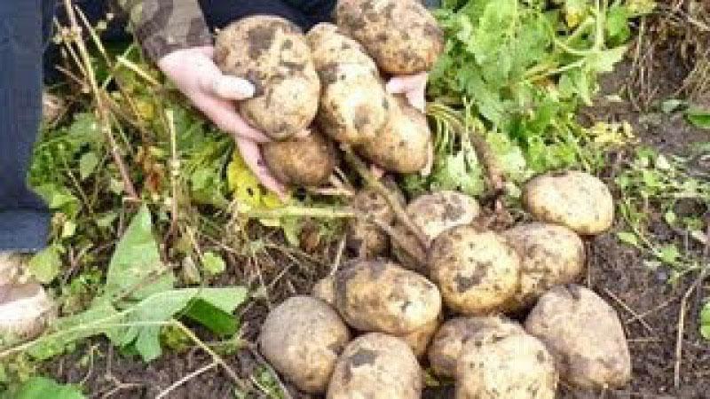 Посадка овочів під солому город без клопоту. Город без клопоту: посадка картоплі під солому