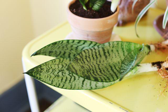 Як доглядати за драценою тещин язик. Квітка тещин язик - як виростити сансевиерию в квартирі? як живопліт