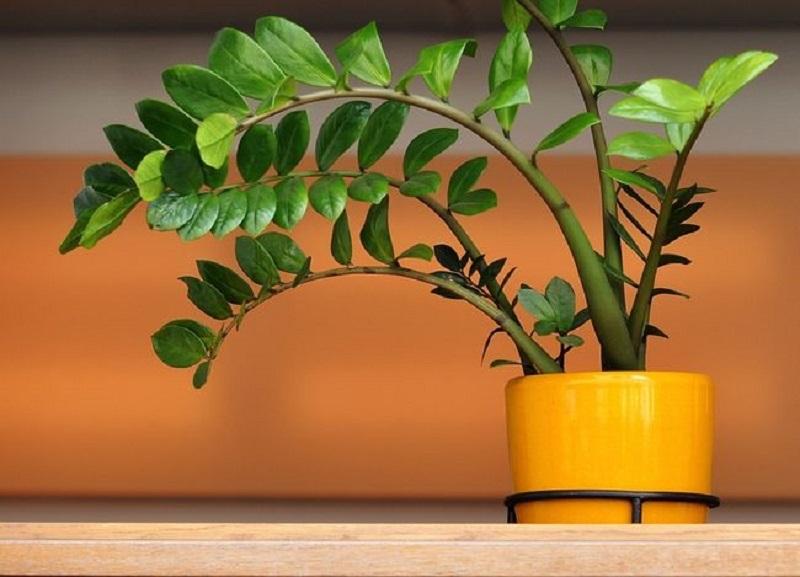Отруйне чи доларове дерево для тварин. Доларове дерево або кімнатна квітка заміокулькас: посадка, догляд, розмноження, полив, пересадка восени, взимку, вирощування, підгодівля в домашніх умовах, хвороби, прикмети і забобони