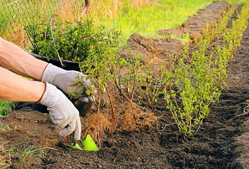 Які дерева посадити по периметру ділянки. Як захистити город від вітру